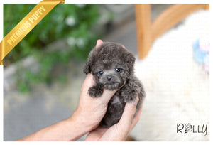 (Reserved by Orozco) Hugo - Poodle. M - Rolly Teacup Puppies