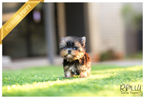 (Purchased by Rosenfield)Hugo - Yorkie. M - Rolly Teacup Puppies
