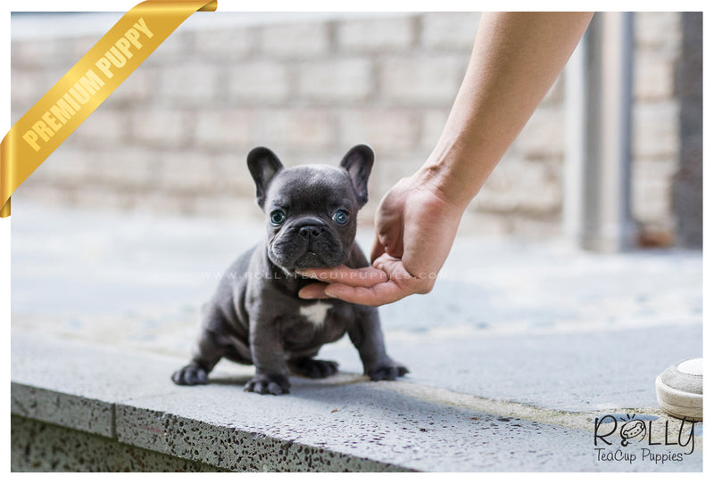 (SOLD to Katie) Hulk - French Bulldog. M - Rolly Teacup Puppies - Rolly Pups