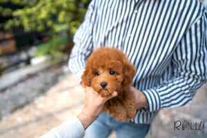 (PURCHASED by DeRosso)Hunter - Golden Doodle. M - Rolly Teacup Puppies - Rolly Pups