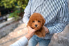 (PURCHASED by DeRosso)Hunter - Golden Doodle. M - Rolly Teacup Puppies