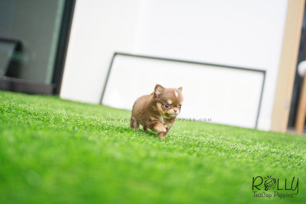 (SOLD to Giacomo) Bolt - Long Hair Chihuahua. M - Rolly Teacup Puppies