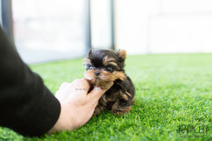 (SOLD To D'Addario) Momo - Yorkshire Terrier. M - Rolly Teacup Puppies - Rolly Pups