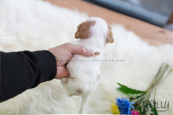 (SOLD to Crepaldi) Lady - King Charles. F - Rolly Teacup Puppies