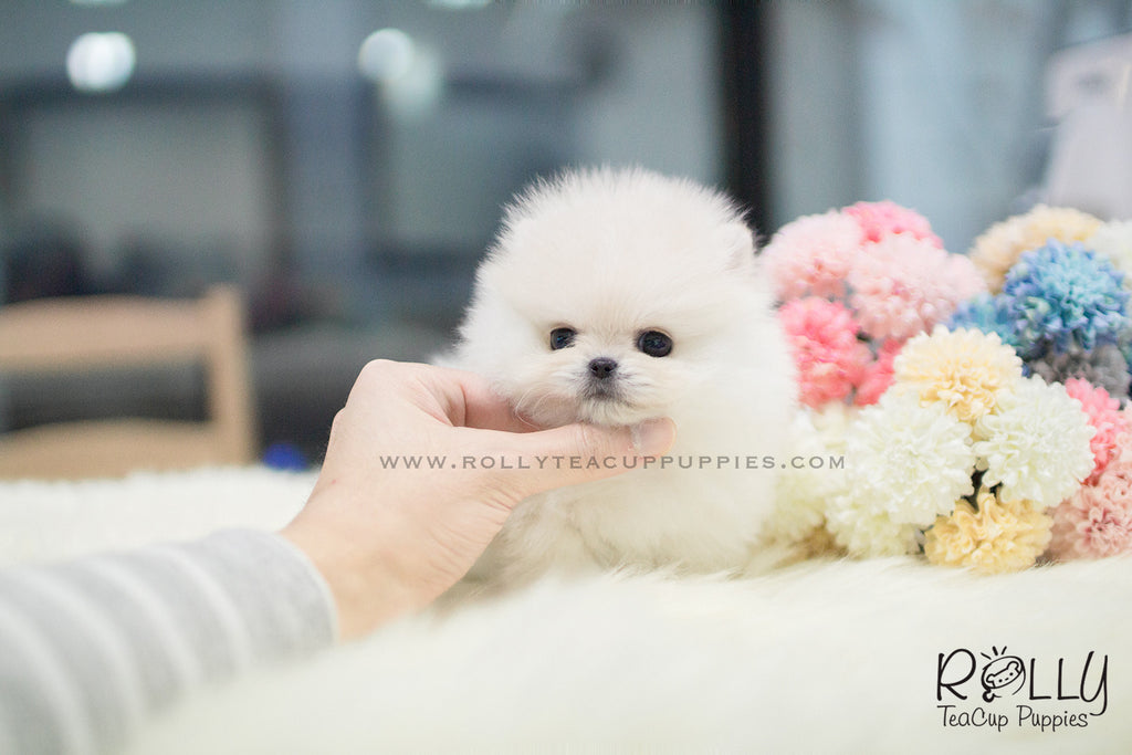 Carson - Pomeranian. M - Rolly Teacup Puppies