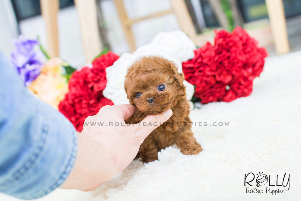 Winnie - Poodle. M - Rolly Teacup Puppies