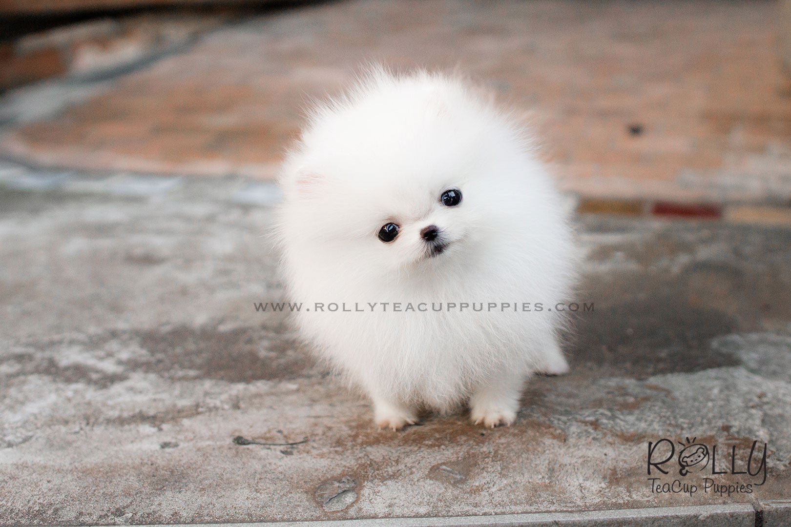 Alice - Pomeranian– Rolly Teacup Puppies