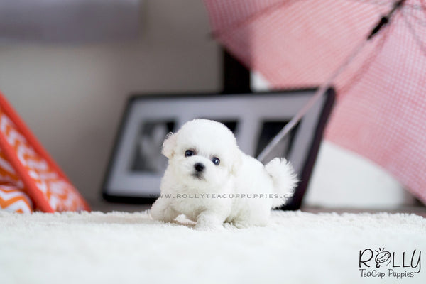 (SOLD to Bille)Igloo - Bichon. M