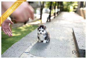 (Purchased by Hendrickson) Igloo - Pomsky. M - Rolly Teacup Puppies - Rolly Pups