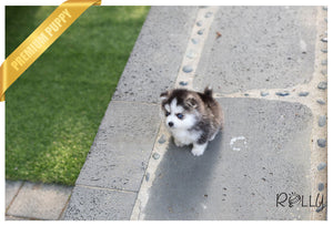 (Purchased by Hendrickson) Igloo - Pomsky. M - Rolly Teacup Puppies