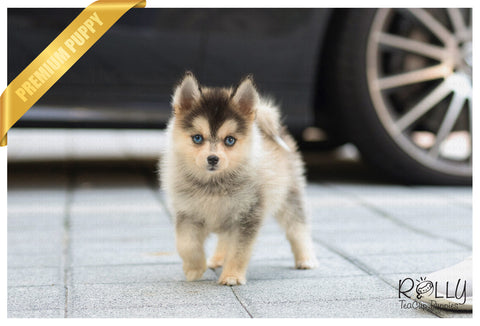 (Purchased by Lipeles) Igloo - Pomsky. F - Rolly Teacup Puppies