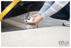(SOLD to Gonzalez) Igor - Pomsky. M (Mini Husky) - Rolly Teacup Puppies