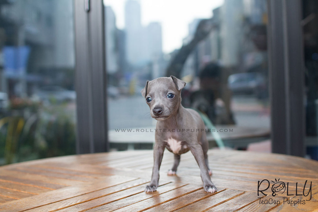 Cindy - Italian Grey Hound - Rolly Teacup Puppies