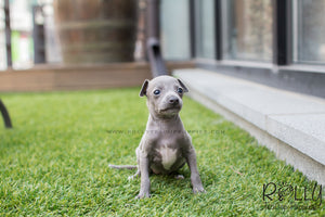 Cindy - Italian Grey Hound - Rolly Teacup Puppies - Rolly Pups