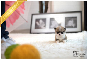 (Purchased by Guidry) Itsy - Corgi. F - Rolly Teacup Puppies