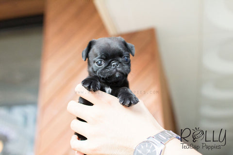 teacup pug puppy available puppies rolly teacup puppies 7752