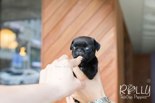 Ivy - Pug - Rolly Teacup Puppies