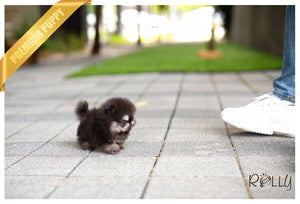(Purchased by Ken) Jack - Pomeranian. M - ROLLY PUPS INC