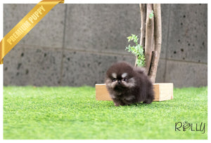 (Purchased by Ken) Jack - Pomeranian. M - Rolly Teacup Puppies