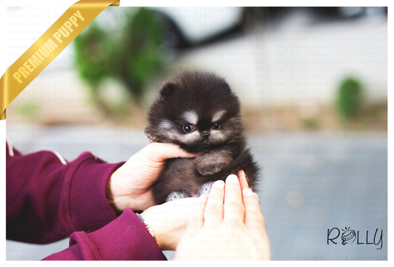 (Reserved by Ken) Jack - Pomeranian. M - Rolly Teacup Puppies