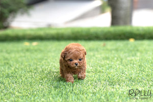 (SOLD to Maria) Jack - Poodle. M - Rolly Teacup Puppies