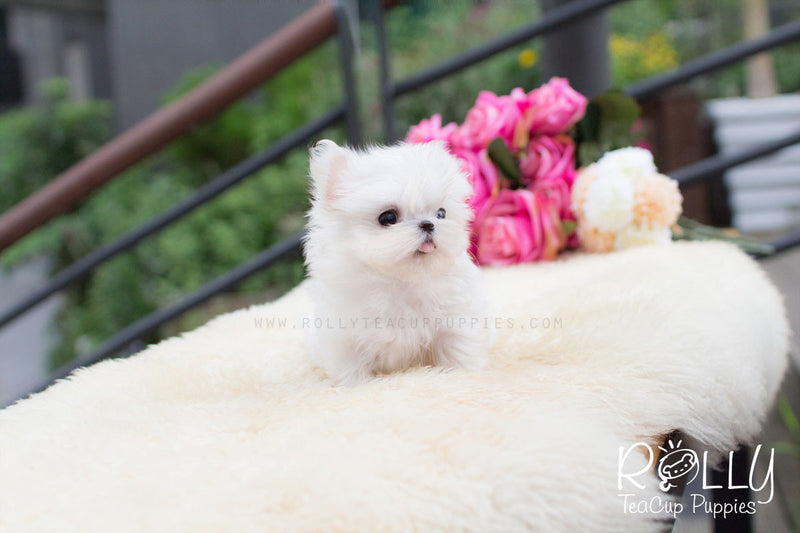 Jasmin - Maltese - Rolly Teacup Puppies