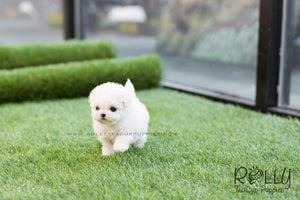 (SOLD to King) Jasper - Bichon Frise. M - Rolly Teacup Puppies - Rolly Pups