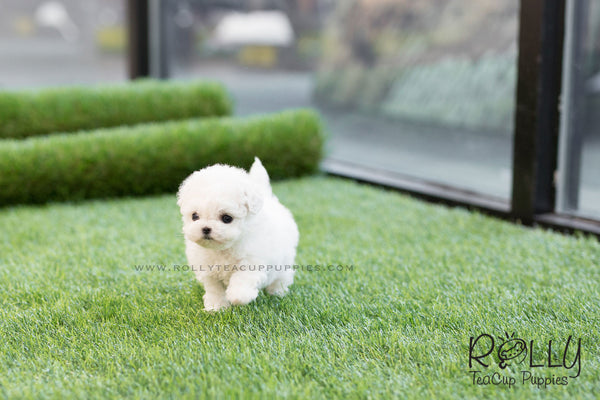 (SOLD to King) Jasper - Bichon Frise. M - Rolly Teacup Puppies