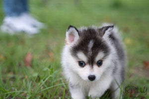 (Purchased by David) Jasper - Pomsky. M - Rolly Teacup Puppies