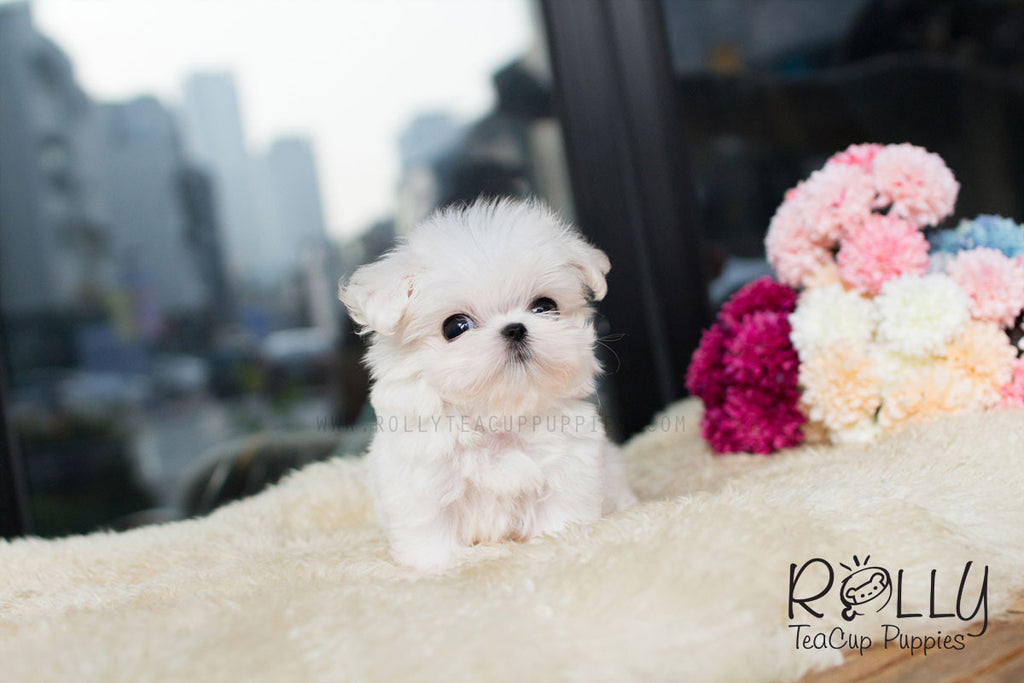 Jay - Maltese - Rolly Teacup Puppies - Rolly Pups