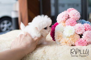 Jay - Maltese - Rolly Teacup Puppies