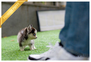 (Purchased by Yi) Jay - Pomsky. M - Rolly Teacup Puppies