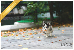 (Purchased by Yi) Jay - Pomsky. M - ROLLY PUPS INC