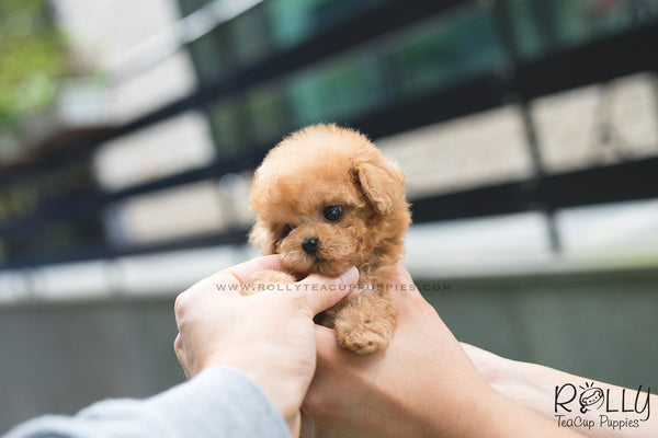 (SOLD to Washington) Jay - Poodle. M - Rolly Teacup Puppies