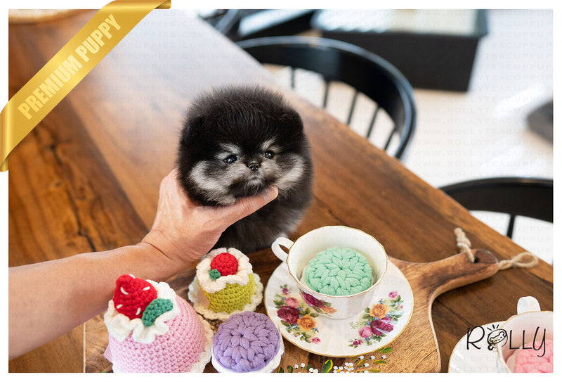 (RESERVED by JANG) JAZZ - Pomeranian. F - Rolly Teacup Puppies - Rolly Pups