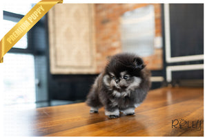 (PURCHASED by JANG) JAZZ - Pomeranian. F - Rolly Teacup Puppies - Rolly Pups