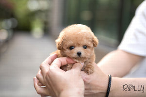 (Purchased by Bianca) Jello - Poodle. F - ROLLY PUPS INC