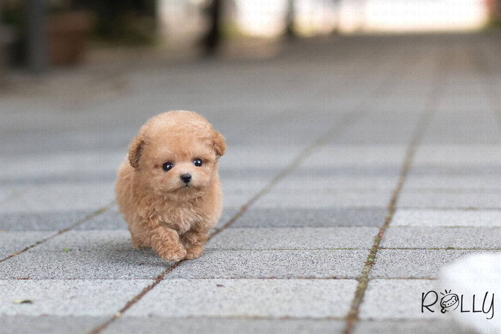 (Purchased by Bianca) Jello - Poodle. F - Rolly Teacup Puppies