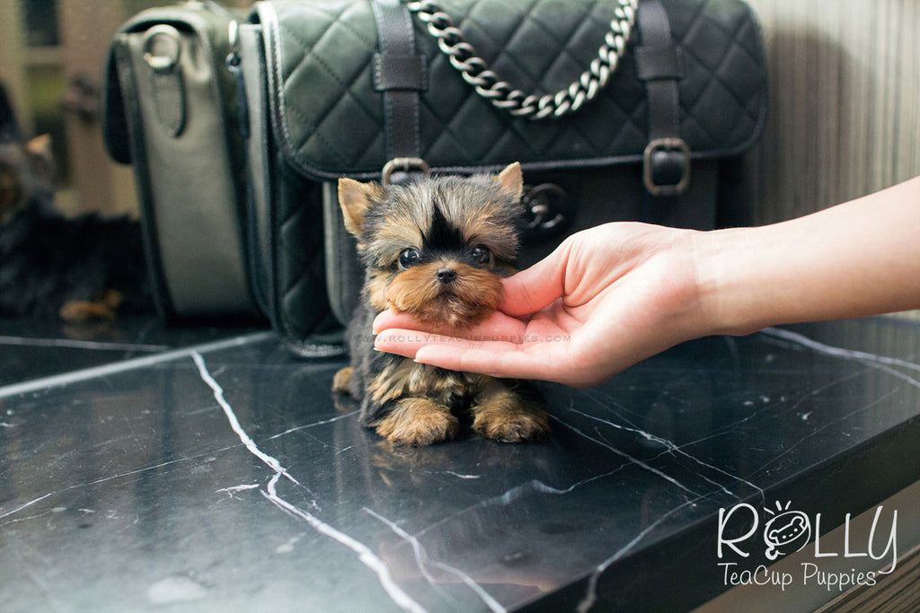 Jenny - Yorkie - Rolly Teacup Puppies - Rolly Pups