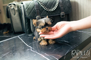 Jenny - Yorkie - Rolly Teacup Puppies