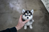 (Purchased by Lidsey) Jessie - Pomsky. F - Rolly Teacup Puppies - Rolly Pups