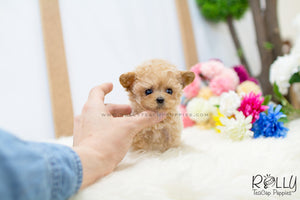 (SOLD to Orsini) Jessie - Poodle. F - Rolly Teacup Puppies - Rolly Pups