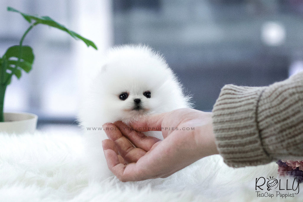 (SOLD to Cuadrado) Jewel - Pomeranian. F