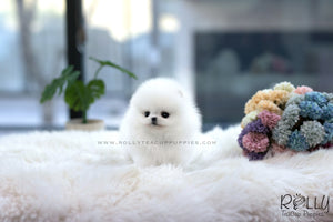 (SOLD to Alasiry) Jewel - Pomeranian. F - Rolly Teacup Puppies