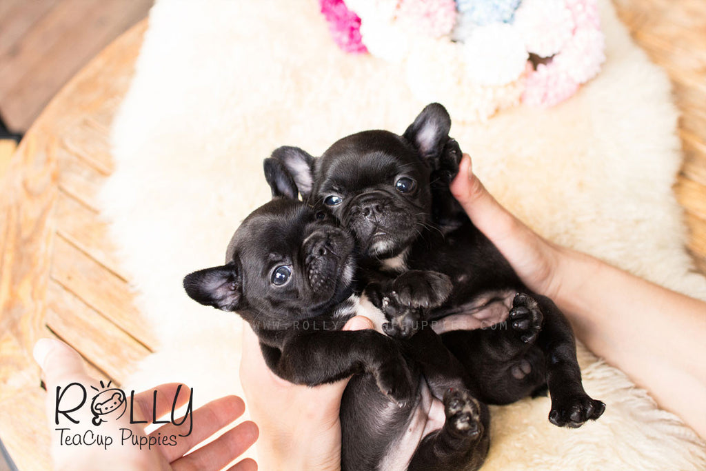 Milly & Jill - French Bulldog - Rolly Teacup Puppies - Rolly Pups