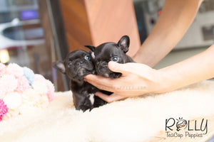 Milly & Jill - French Bulldog - Rolly Teacup Puppies