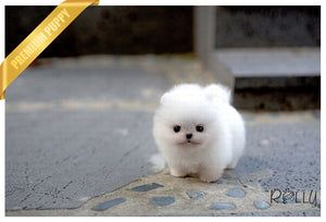 (Purchased by Haddad) Jill - Pomeranian. F - Rolly Teacup Puppies - Rolly Pups
