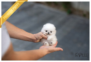 (Purchased by Haddad) Jill - Pomeranian. F - Rolly Teacup Puppies