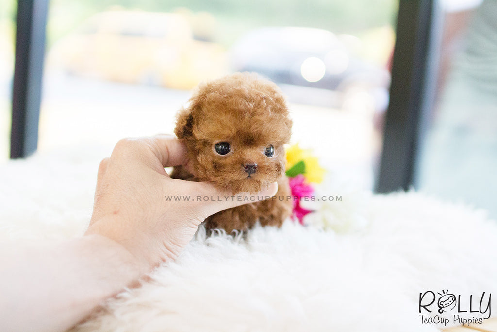 teacup yorkie for sale near me sold to kim jill poodle f rolly teacup puppies 3427