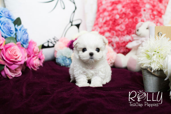 Joanne - Maltese - Rolly Teacup Puppies